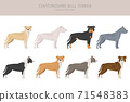 Pit bull type dogs. Staffordshire bull terrier. Different variaties of coat color bully dogs set 71548383