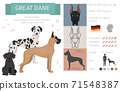 Great dane dog isolated on white. Characteristic, colors, temperament. Dogs infographic collection 71548387