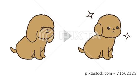 강아지 트리밍 비포 애프터 토이 푸들 71562325