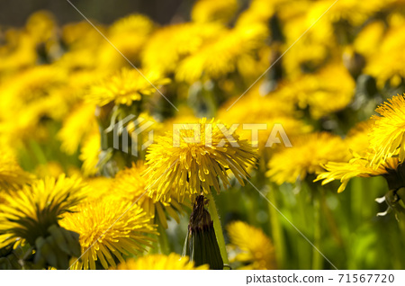yellow fresh dandelions 71567720