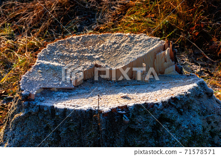 deforestation in the mountains. stump of fresh cut trees in hoarfrost. cold autumn morning countryside scenery 71578571