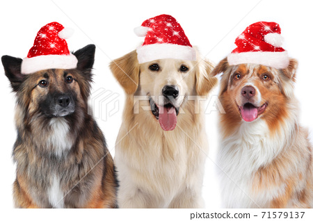 three dogs group with santa hats isolated 71579137