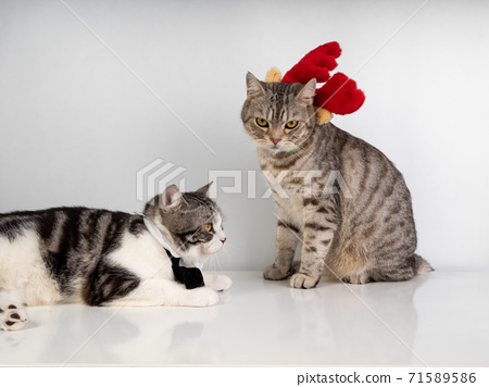 Cute tabby cats with beautiful yellow eyes wearing black bow tie and red antler for Christmas season    on white background.. 71589586