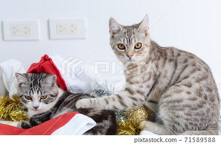Cute tabby cats with beautiful yellow eyes wearing black bow tie and red antler for Christmas season    on white background.. 71589588
