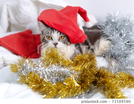 Cute tabby cats with beautiful yellow eyes wearing black bow tie and red antler for Christmas season on white background.. 71589590