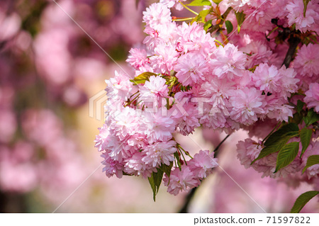 pink cherry blossom in spring time. lush flowers sakura on branches in morning light. beautiful nature background 71597822