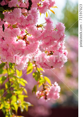 pink cherry blossom in spring time. lush flowers sakura on branches in morning light. beautiful nature background 71597823