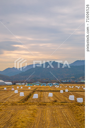 Sunset view of rural paddy field at autumn in Gyeongju, Korea 71606526