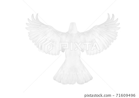 White pigeon flying 71609496
