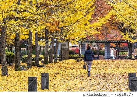 야마가타 현 종합 운동 공원의 은행 나무 가로수 여성의 뒷모습 야마가타 현 덴도시 71619577