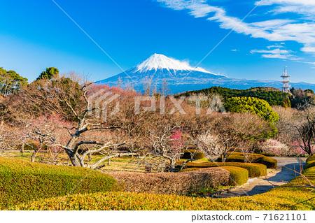 (靜岡縣)岩本山公園和富士山的李子 71621101