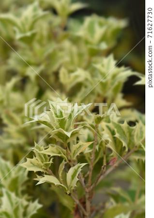 Holly osmanthus Variegatus 71627730