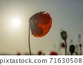 춘천 서면 메밀꽃 밭의 꽃양귀비 71630508