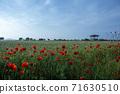 춘천 서면 메밀꽃 밭의 꽃양귀비 71630510
