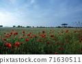춘천 서면 메밀꽃 밭의 꽃양귀비 71630511