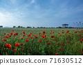 춘천 서면 메밀꽃 밭의 꽃양귀비 71630512