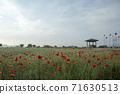 춘천 서면 메밀꽃 밭의 꽃양귀비 71630513