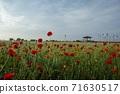 춘천 서면 메밀꽃 밭의 꽃양귀비 71630517