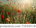 춘천 서면 메밀꽃 밭의 꽃양귀비 71630518