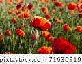 춘천 서면 메밀꽃 밭의 꽃양귀비 71630519