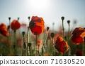 춘천 서면 메밀꽃 밭의 꽃양귀비 71630520