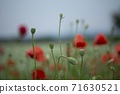 춘천 서면 메밀꽃 밭의 꽃양귀비 71630521