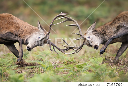 Red deer stags fighting during rutting season 71637094