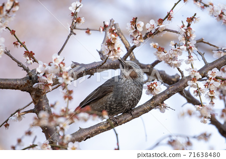 Early spring flower plum and small bird 71638480
