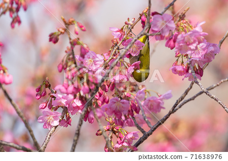 Spring flowers cherry blossoms and small birds 71638976