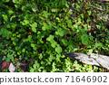 식물 소재 클로버 71646902
