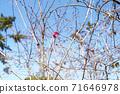 가을에 피는 벚꽃 71646978