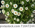 꽃 사진 01 흰색의 작은 꽃 71647244