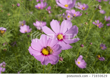 Cosmos blooming in autumn is very beautiful 71650629