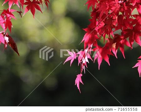 《Atsugi Tsutsuji no Oka Park》 Autumn leaves 71655558