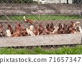 Chickens on free range poultry farm. Birds outdoor behind fence 71657347