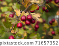 Red hawberry of Crataegus monogyna, known as hawthorn or single-seeded.Autumn organic harvest 71657352
