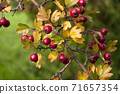 Red hawberry of Crataegus monogyna, known as hawthorn or single-seeded.Autumn harvest 71657354