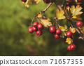 Red hawberry of Crataegus monogyna, known as hawthorn or single-seeded hawthorn 71657355