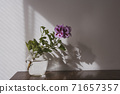 Violet Regal Pelargonium flower, home and garden plant, in glass vase on wooden table. 71657357