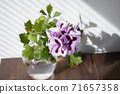 Pink Regal Pelargonium flower, home and garden plant, glass jar on wooden table. 71657358