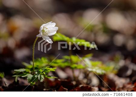 初秋的白花Azumaichige 71661408