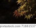Maple 71661537