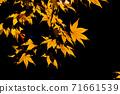Yellow maple 71661539
