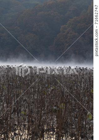 Lotus field scenery 71662747