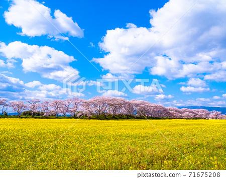 藤原宮 자취 벚꽃과 유채 꽃 71675208