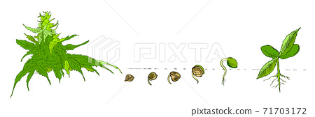 Marijuana hand drawn in line art style isolated on white. Phases plant growing. Seeds sprouts in soil, fresh green plants. Ideal for the design packaging materials, organic farm products. Vector 71703172