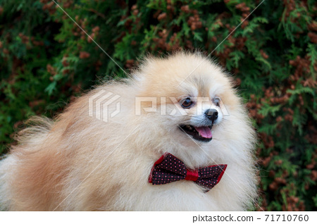 Pomeranian spitz puppy in a beautiful bow tie. 71710760