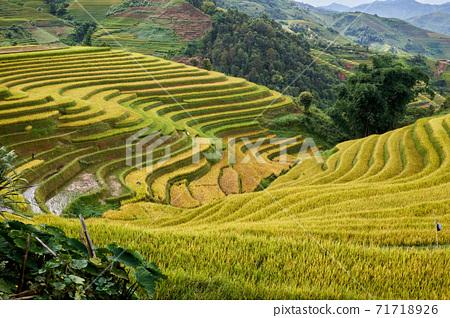 越南木倉柴收穫季節的金色水稻梯田 71718926