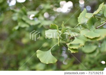 녹색 은행잎 신록 71719253