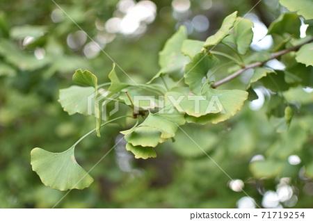 녹색 은행잎 신록 71719254